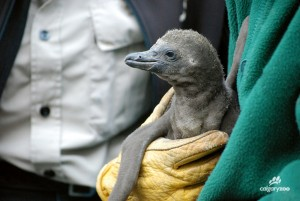 Humboldt Penguin Chick1WM