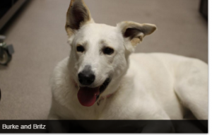 Britz is available at Red Deer SPCA