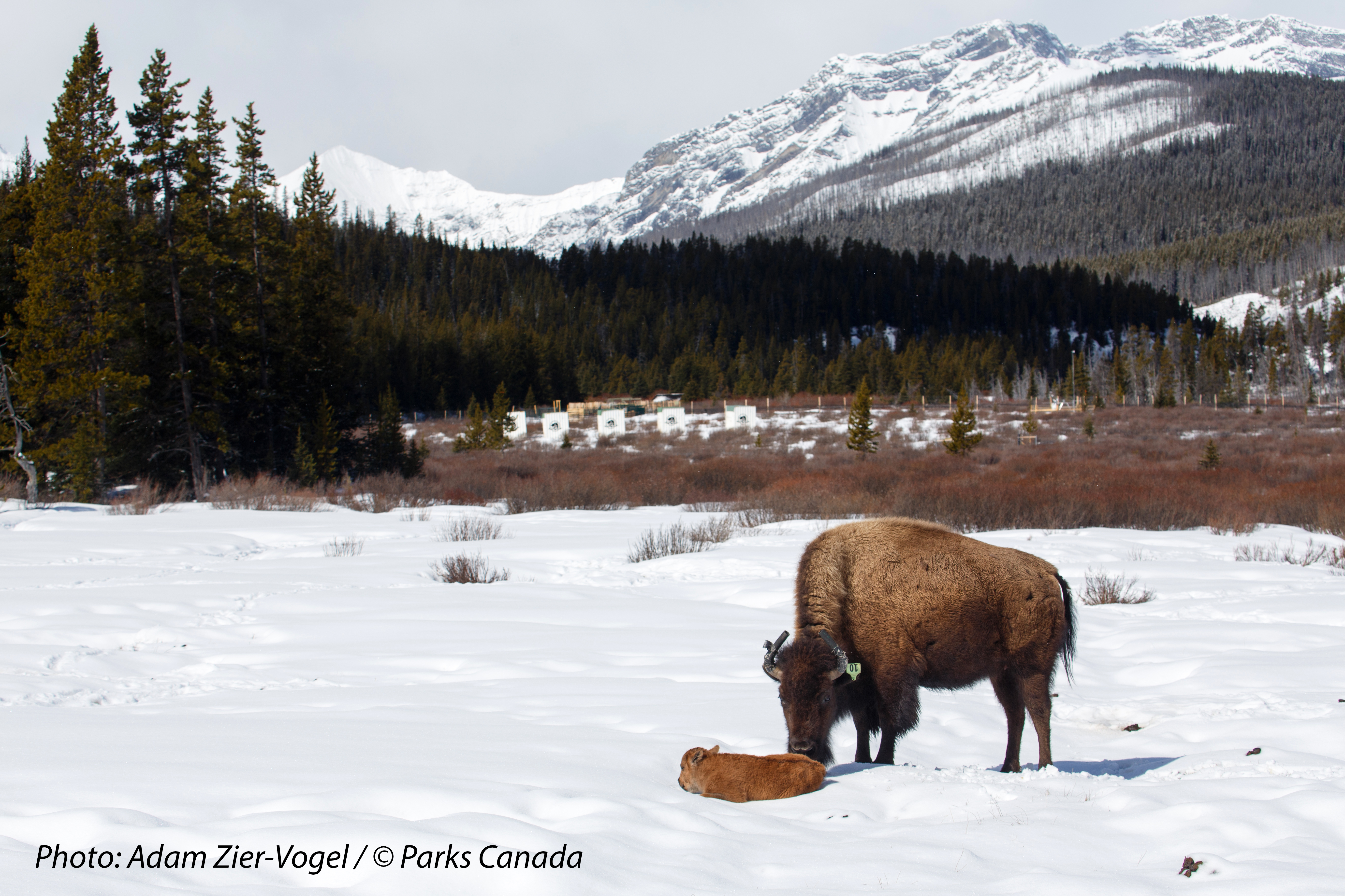 First bison calves born in Banff National Park in over 140 years