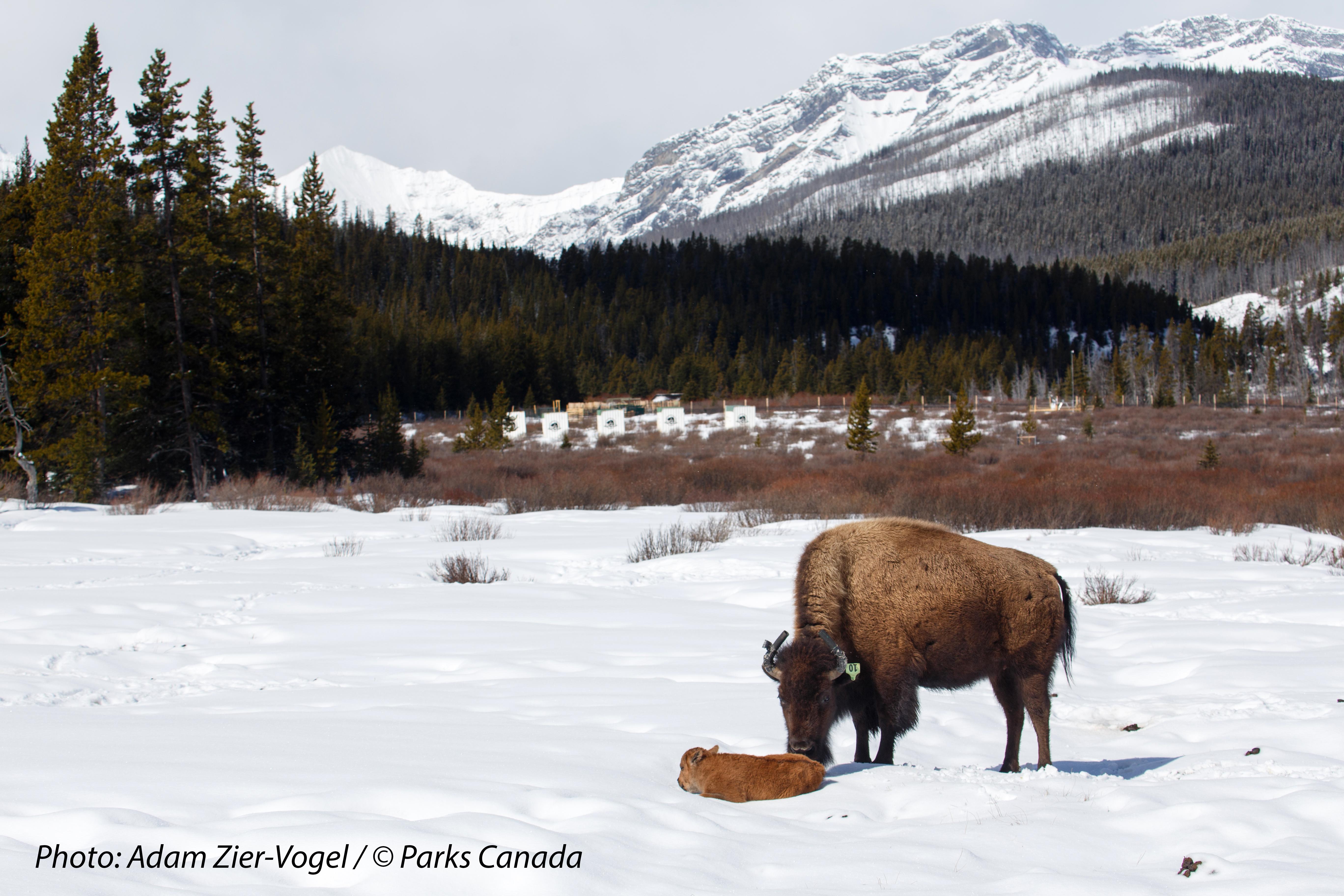 3 bison calves born in Banff National Park as reintroduction continues