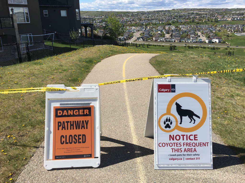 Food, dog feces drawing coyotes into communities