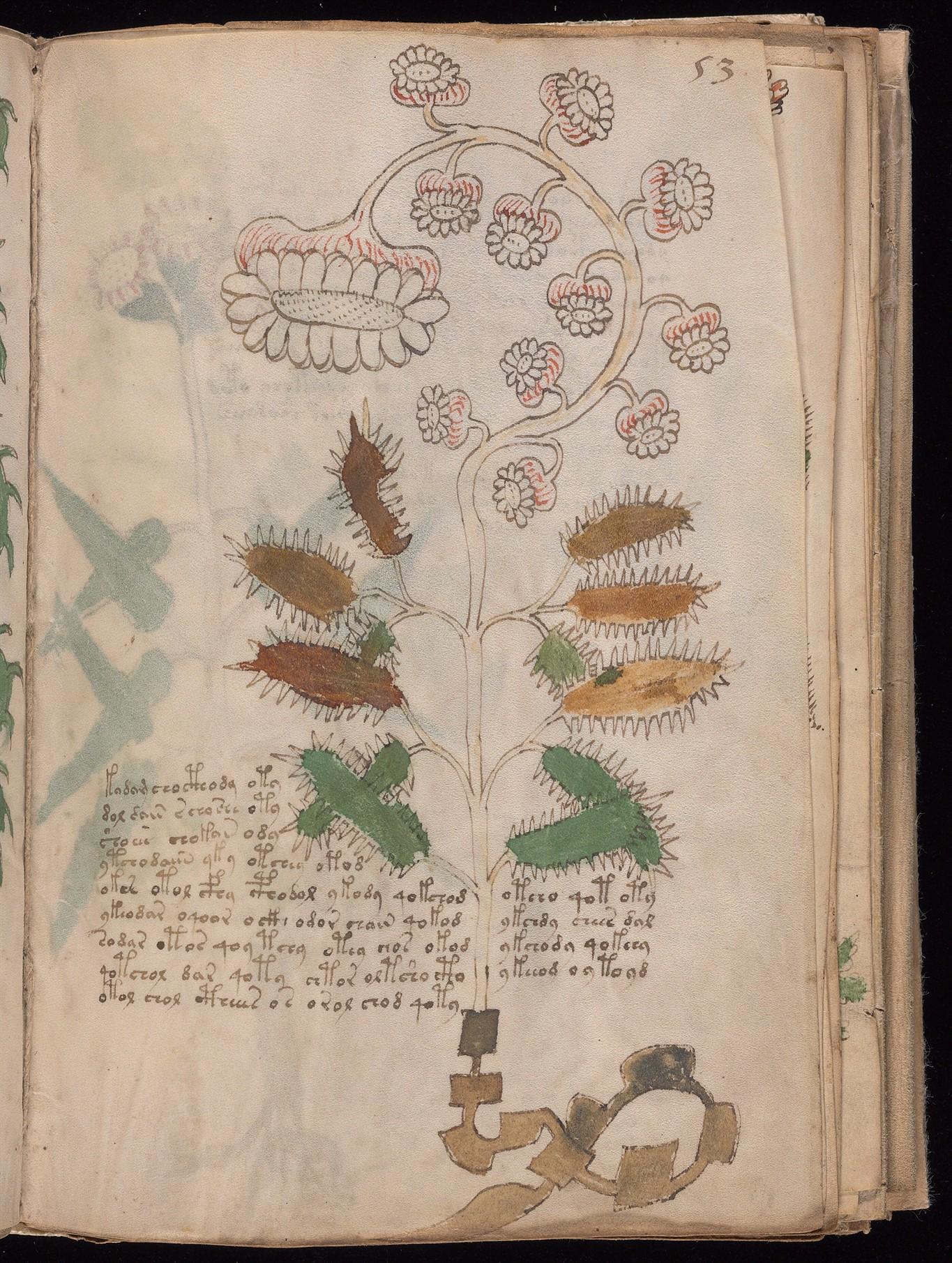Voynich Manuscript Plants