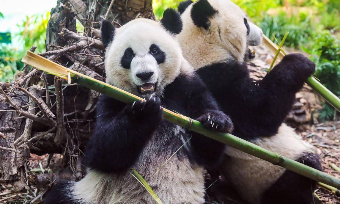 The Calgary Zoo in Canada will return two pandas to China