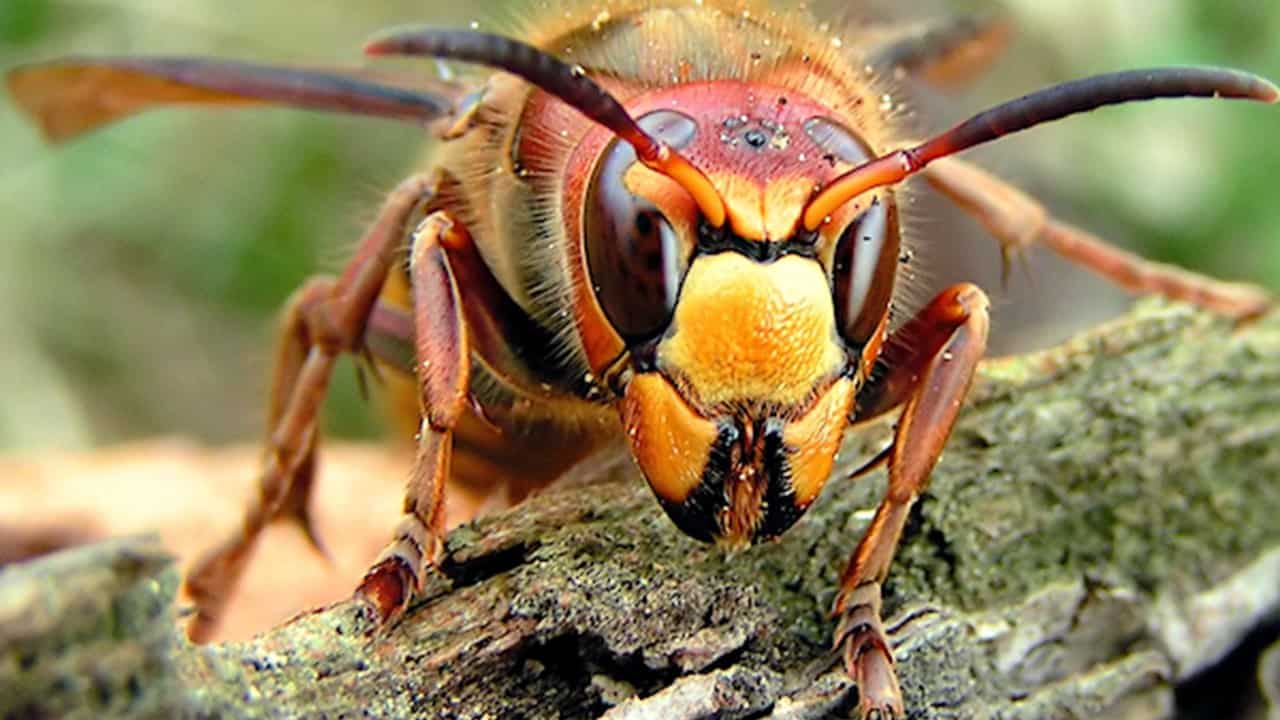Murder Hornets,' with sting that can kill, lands in US - 660 NEWS